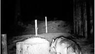 Bayern – Ein Problemwolf macht den Bergwald unsicher. Mehrere Tiere sollen dem umherstreifenden Wolf – dem ersten seit fast 200 Jahren in diesem Gebiet – bereits zum Opfer gefallen sein. Die Menschen sind dementsprechend geschockt und nicht wenige fühlen sich schmerzhaft an den Problembären erinnert, der das Land 2006 mit […]