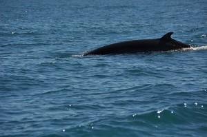 Walfangverbot